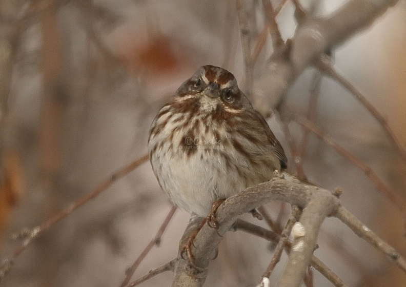 song_sparrow_bird_T38A5399.JPG