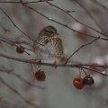 song sparrow bird T38A5467