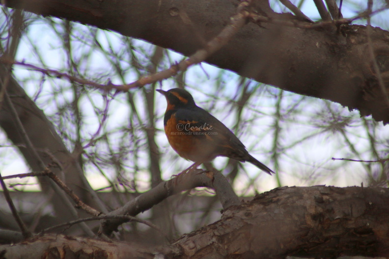 varied_thrush_bird_484.jpg