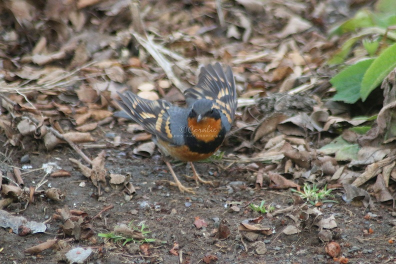 varied_thrush_bird_604.jpg