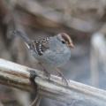 white crowned sparrow fledgeling bird 662