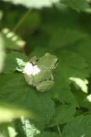 Green Pacific Tree Frog 213