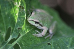 Pacific Tree Frog 411