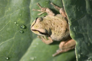 Pacific Tree Frog On The Cabbage Plant 070