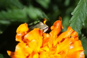 baby frog hiding within the marigold flower 139