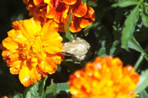 baby frog on the marigold flowers 199