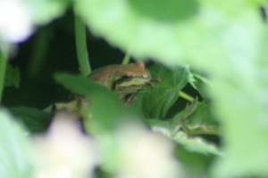 frog 2015-06-03 069