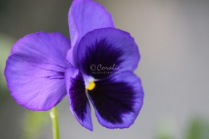 Pansy Flower 543