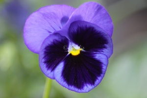 The Blue Pansy Flower 202