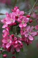 apple blossoms 027