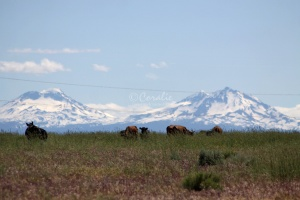 Sisters Mountains Cattle Views Seen in Jefferson County Oregon 1098