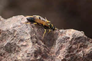 Mud Daubers or Mud Wasp 104