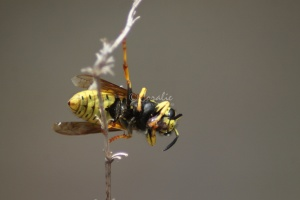 Yellow Jacket  Feeding 4230