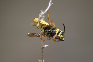 Yellow Jacket Feeding 4209