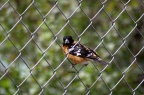 Black-headed Grosbeak 541