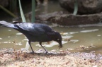 Brewer's Blackbird 360