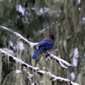 cascade mountains stellers jay bird 390