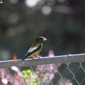 Evening Grosbeak 866