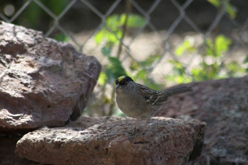 gold_crowned_sparrow_bird_238.jpg
