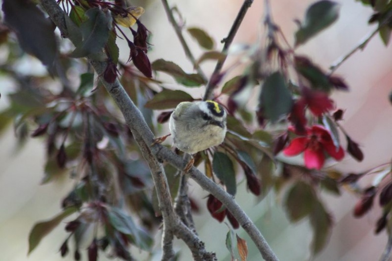 Golden-crowned_Kinglet_921.jpg