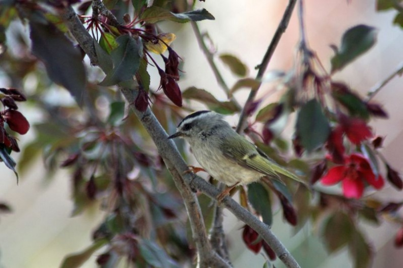 Golden-crowned_Kinglet_938.jpg
