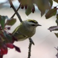 Golden-crowned Kinglet 973