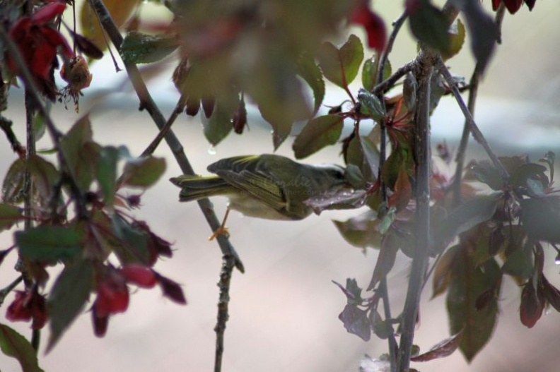 Golden-crowned_Kinglet_978.jpg