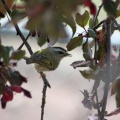 Golden-crowned Kinglet 981