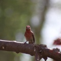 house finch 759