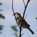 House Sparrow Bird 815