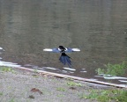 Oregon Magpie Bird in Flight 117