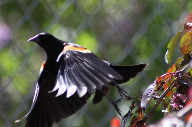 redwing_blackbird_092.jpg