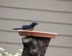 Scrub Jay Bird Taking Bath 179