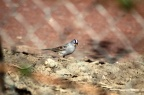 White Crowned Sparrow 016