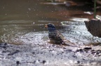 White Crowned Sparrow Taking Bath 1186