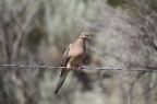 Wild Mourning Dove 155