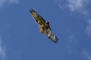 181red tailed hawk twitter