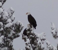 bald eagle pair 411twitter