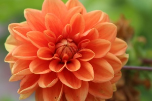 Dahlia Flower Bloom 032