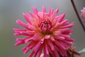 dahlia flower bloom