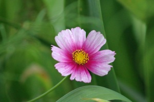 cosmos flower growing in the garden 001