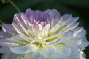 white blended colors of the dahlia flower 011