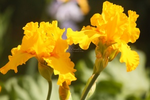 bearded iris flowers 303