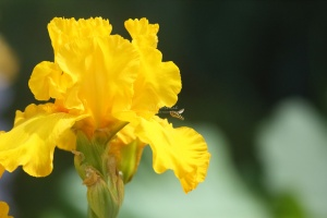 hoverfly bearded iris flower 311