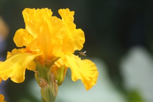 hoverfly on the  tall bearded iris flower 311