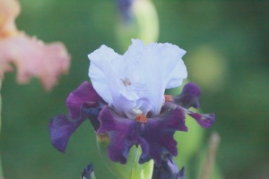 tall bearded iris flower 025