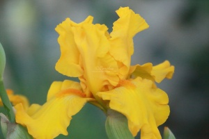 tall bearded iris flower 035
