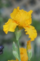 tall bearded iris flower 038
