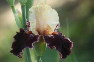 tall bearded iris flower 039