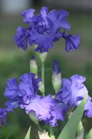 tall bearded iris flower 093